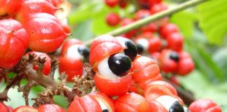 Guarana – czym jest i jak ją spożywać?