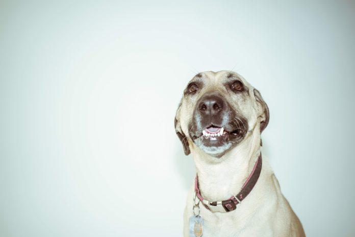 Ozdobne obroże dla psów