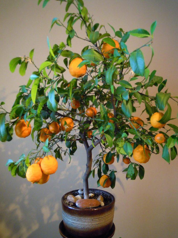 Drzewka owocowe mini – hit na balkony i tarasy