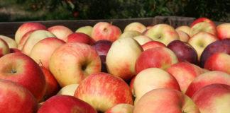 Jak wybrać skrzynie na jabłka, które ograniczą ich uszkodzenia